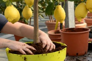 Grow Lemon in a pot